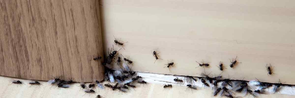 plaga de hormigas en el hogar